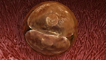What Is a Zygote?