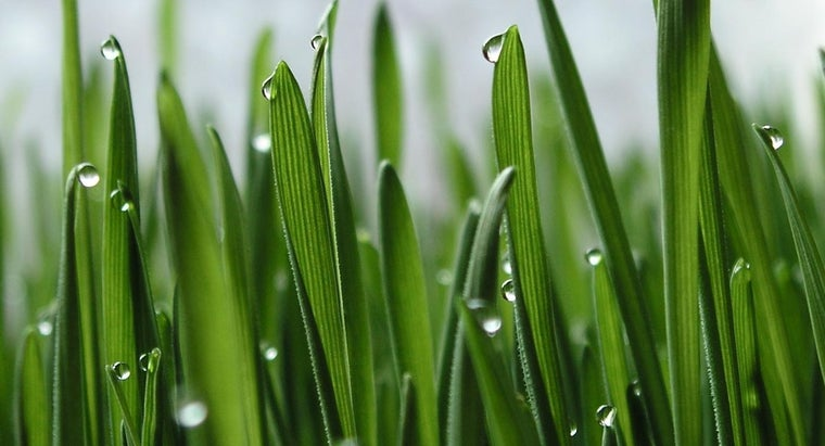 What Are the Medical Benefits of Wheatgrass?