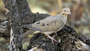 What Do Mourning Doves Eat?