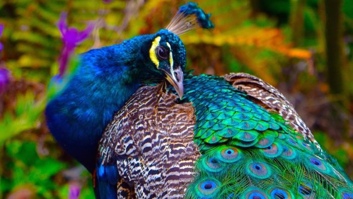 What Is a Peacock?