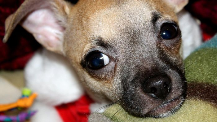 What are some common facts about Chihuahua puppies?