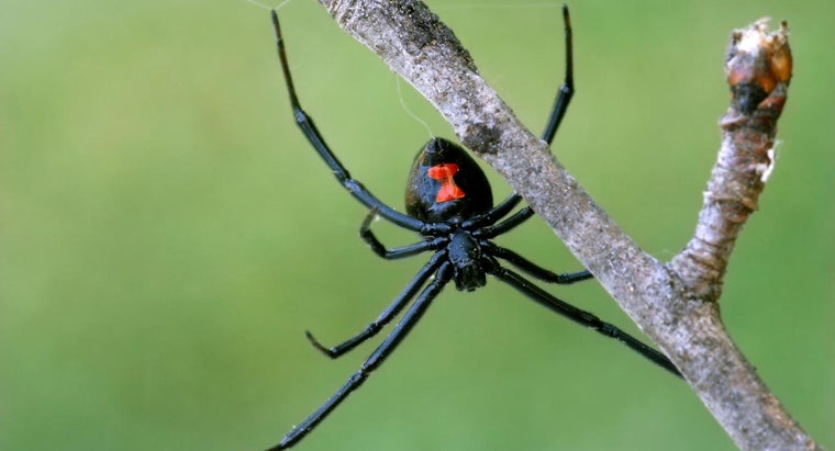 What Are the Identifying Characteristics of a Black Widow Spider?