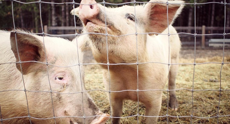 Where Can You Purchase Farm Pigs for Sale?