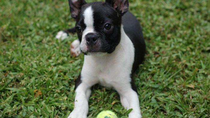 Where Can You Buy Healthy Boston Terrier Puppies?