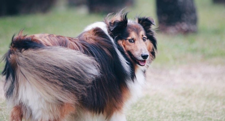 What Is the Life Span of Sheltie Puppies?