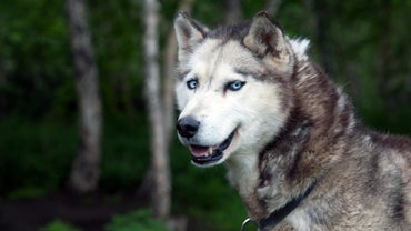 What Are the Meanings for Names for a Siberian Husky?