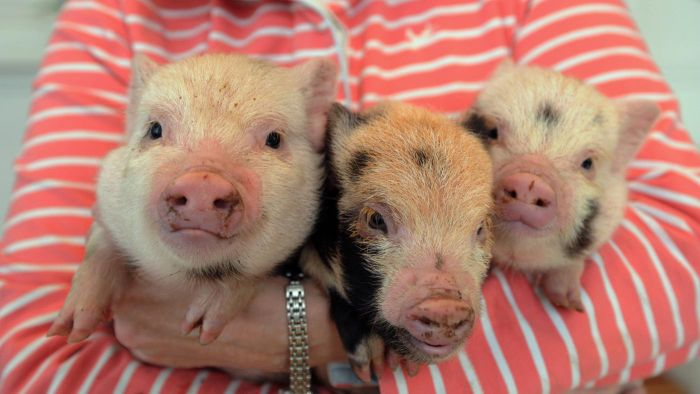 What Do Mini Teacup Pigs Require to Grow up Healthy and Strong?