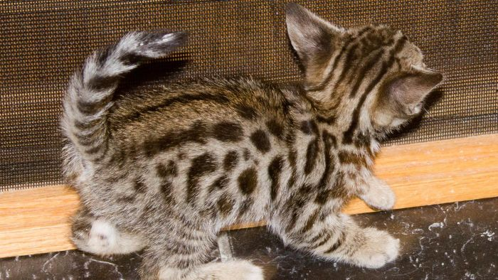 What Are Savannah Cats?