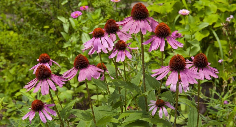 What Is Echinacea?