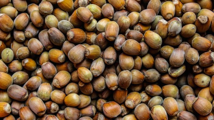 What is a hazelnut?