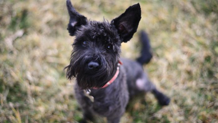 What Are Some Reputable Websites for Schnauzer Rescues?