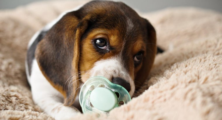 What Are Teacup Beagles?