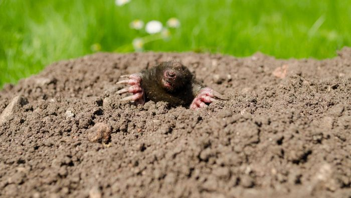 How Do You Rid a Yard of Moles?