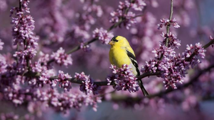 Do yellow finches migrate?