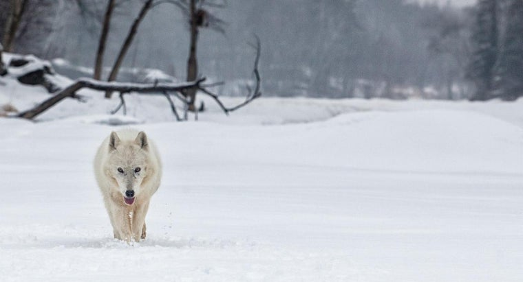 What Is the Arctic Wolf's Habitat?