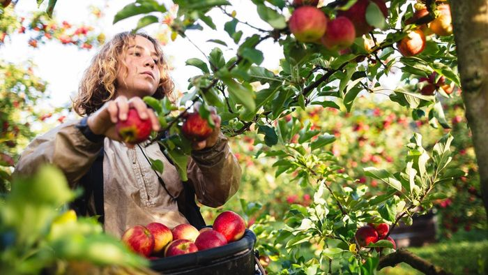 Where Are Some Good Places to Go Apple Picking in Virginia?
