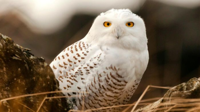 What Are Some Fun Snowy Owl Facts for Children?