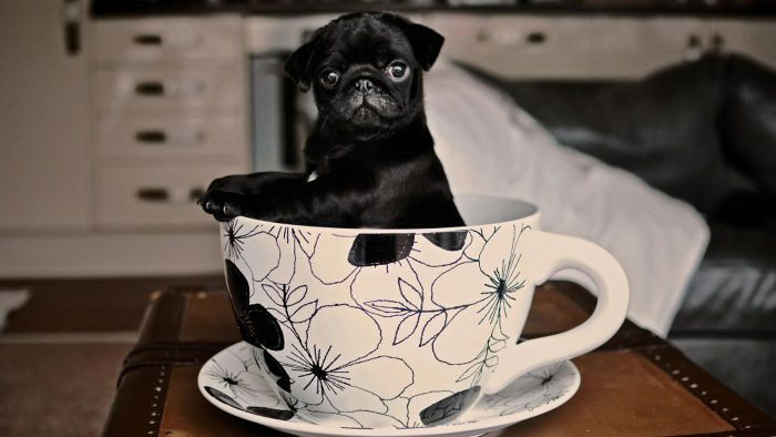 Where Can You Get Black Pug Dogs for Adoption?