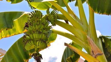 Do Bananas Grow on Trees or Bushes?