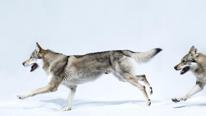 What Are Some Interesting Facts About Wolves?