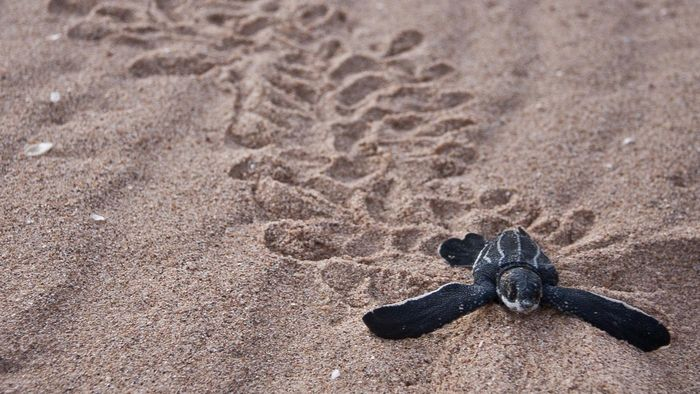 Where Do Leatherback Turtles Live?