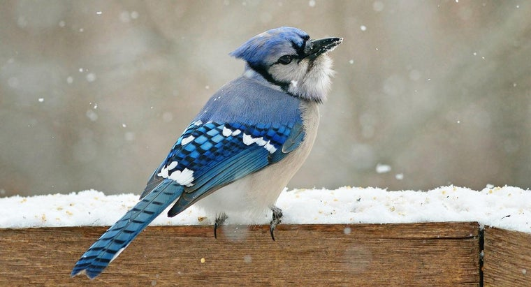 How Long Do Blue Jays Live?