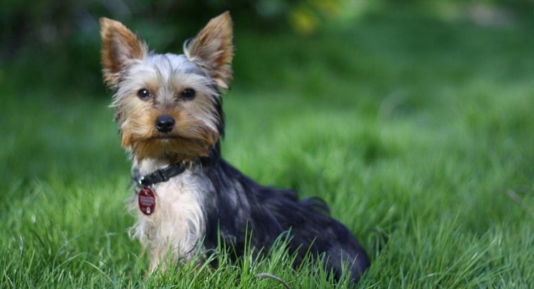 How Do You Rescue a Yorkshire Terrier?