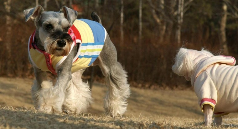 What Are Some Tips for Adopting a Miniature Schnauzer?