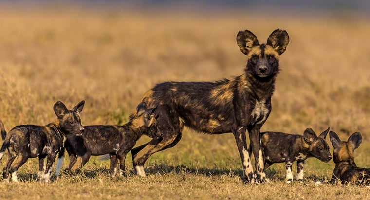 What Do African Wild Dogs Eat?