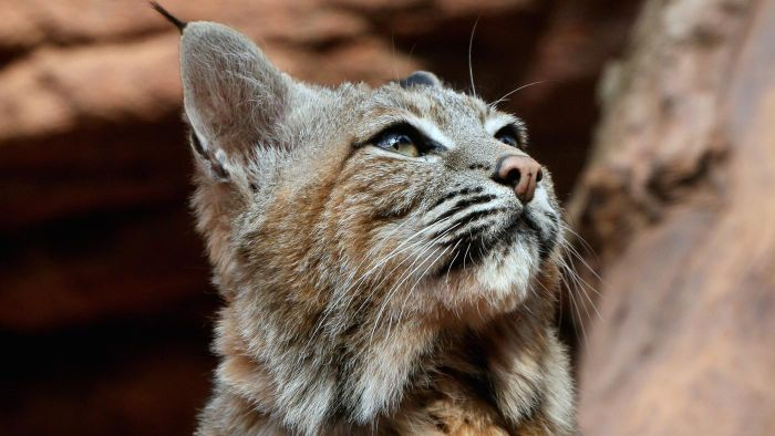 What are some species of wild cats?