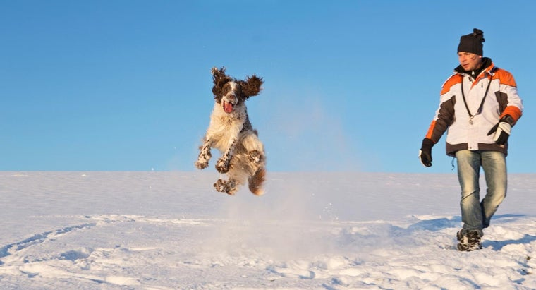 What Are Some Interesting Facts About Springer Spaniels?