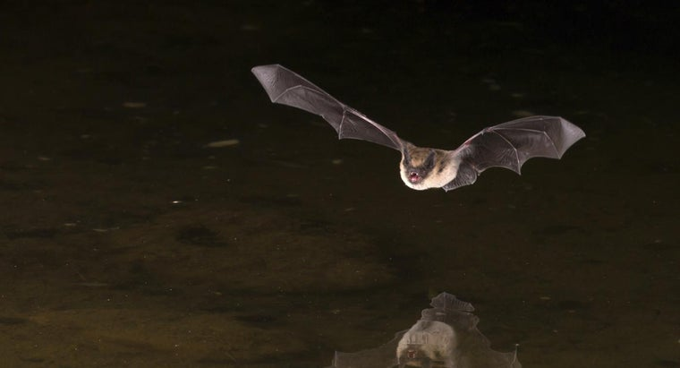 What Is the Most Common Bat Species in the United States?