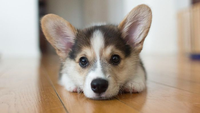How do you find Corgi puppies at local rescues?