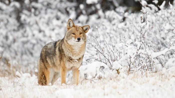 What Is Some Basic Information About Coyotes?