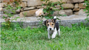 Where Can You Find Toy Fox Terrier Puppies for Sale?
