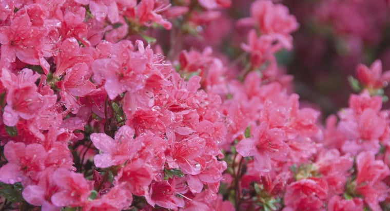 How Do You Prune Azaleas?