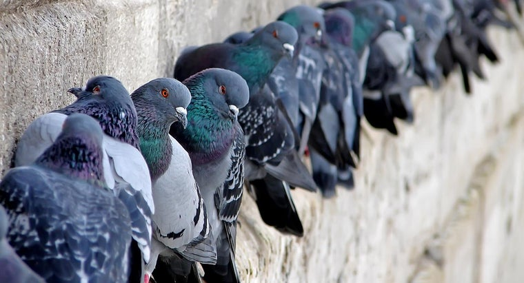 What Are Some Things That Scare Pigeons?