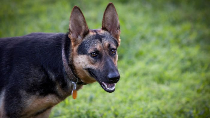 What Are Good Names for German Shepherd Dogs?