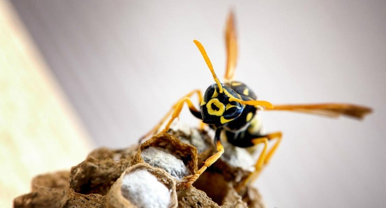 How Do You Treat Yellow Jacket Stings?