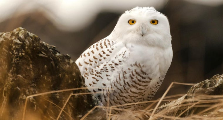 What Do Snowy Owls Eat?