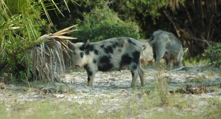 Is There a Humane Pig Trap Available to Trap Feral Pigs?