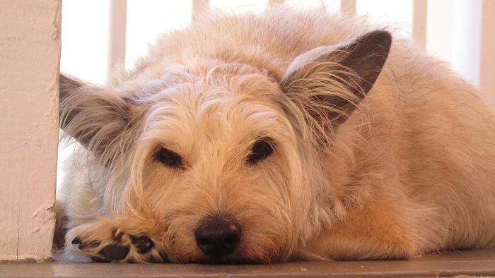 What Are Some Pain Relief Options for a Dog?