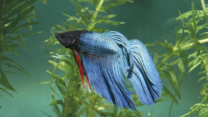 Do male betta fish look different than females?