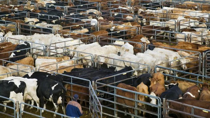 How do you find live cattle auctions?