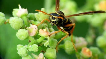 What Are Some Home Remedies to Kill Wasps?