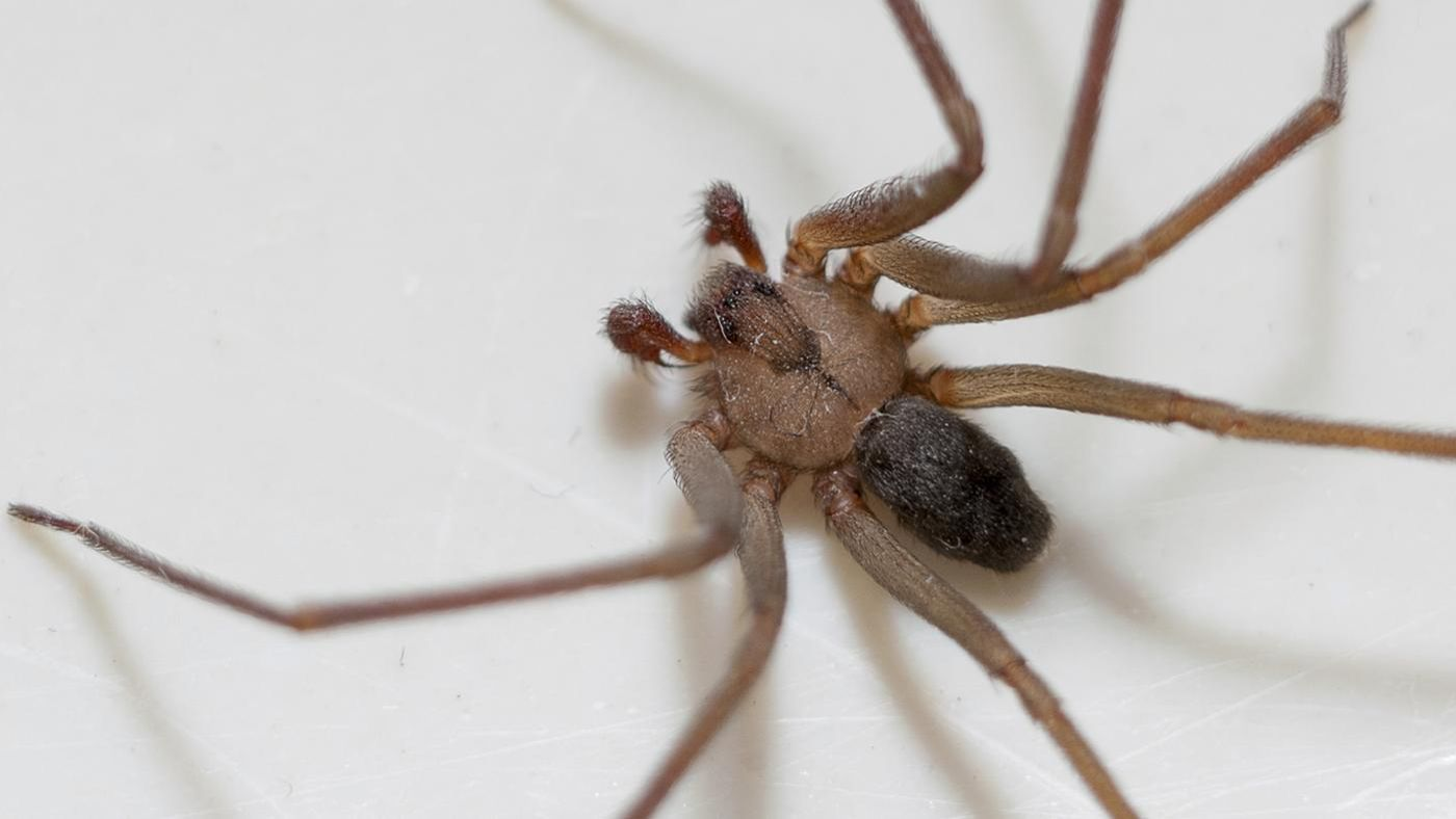 What does a brown recluse spider bite look like for What does a garden spider look like