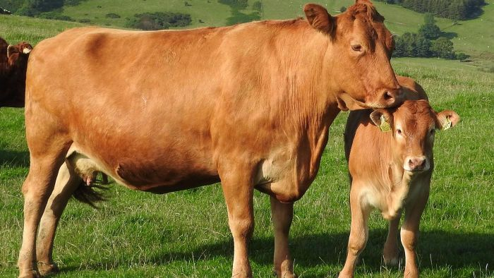 What Is the Gestation Period of a Cow?