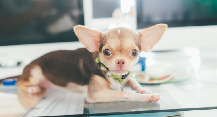 What Are Some Reputable Chihuahua Puppy Rescue Centers?
