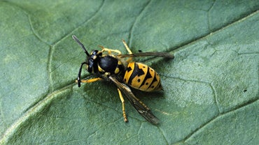 How Do You Identify a Yellow Jacket?