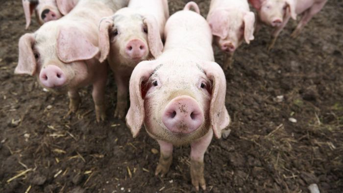 What Are the Most Popular Pig Breeds Available on the Market?